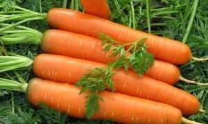 Как обрезать морковь для хранения на зиму в погребе и других местах, нужно ли и как правильно срезать ботву?