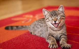 Как убрать запах кошачьей мочи с ковра в домашних условиях: чем можно вывести пятно, если кошка написала, как почистить