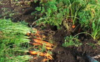Хранение моркови в опилках на зиму: можно ли и как правильно хранить, каковы плюсы и минусы, отзывы дачников об